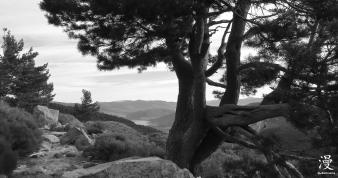 El pino herido