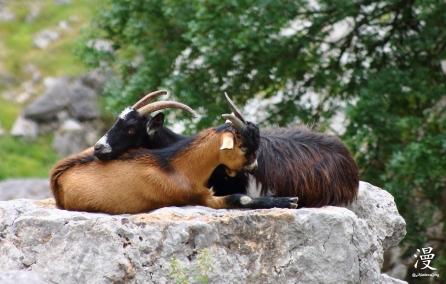 Reposo de las cabras